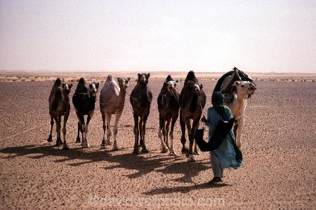 Tuareg Nomad And Camel Train Sahara Desert Niger Algeria Border Region West Africa