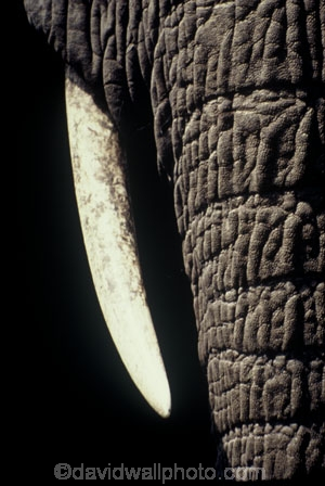 africa;african;animal;animals;elephants;east-africa;pachyderm;pachyderms;wildlife;wild;trunk;tusk;tusks;Loxodonta-africana;ivory;skin;safari;safaris;game-viewing;threatened;endangered