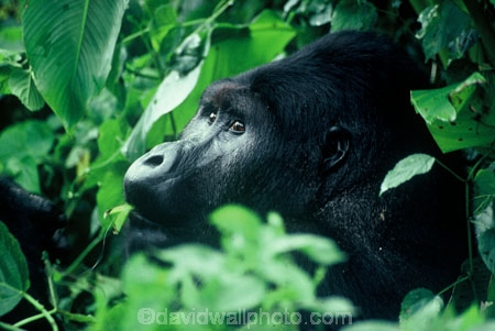 africa;african;animal;animals;wildlife;central-africa;great-lakes-region;jungle;endangered;threatened-with-extinction;safari;safaris;game-viewing;male;leader;dominant;rainforest;mountain;gorillas;ape;apes;primate;primates;wild;gorilla;gorilla-beringei;silver-back;threatened;endangered-with-extinction