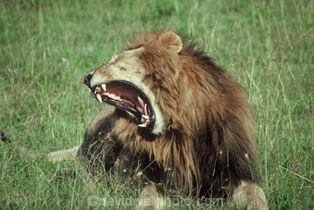 east-africa;africa;african;animal;animals;mammal;mammals;wild;wildlife;zoology;plain;plains;savannah;savanna;savanah;savana;grasslands;game-park;game-parks;cat;cats;feline;felines;predator;predators;carnivore;carnivores;lions;Panthera-leo;pride-leader;dominant;roar;yawn;yawning;teeth;canines;bite;hungry;hunger;lazy;laziness;roaring;sleepy;tired;sleepiness;mouth;mouths;yell;yelling;shout;shouts;shouting;yells;safari;safaris;game-viewing;rift-valley