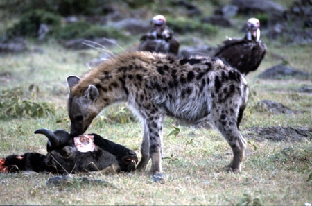 africa;african;animal;animals;mammal;mammals;nature;predator;predators;fur;east-africa;wildlife;wild;zoology;safari;safaris;game-viewing;carnivore;carnivores;omnivore;scavenger;scavengers;spotted-hyena;plain;crocuta-crocuta;erxleben;hyenas;tierwolf;-plain;plains;savannah;savanna;savanah;savana;grasslands;game-park;game-parks;safari;safaris;game-viewing;rift-valley;kill;hear;wildebeests;skull;eye-socket;eat;eats;vulture;vultures
