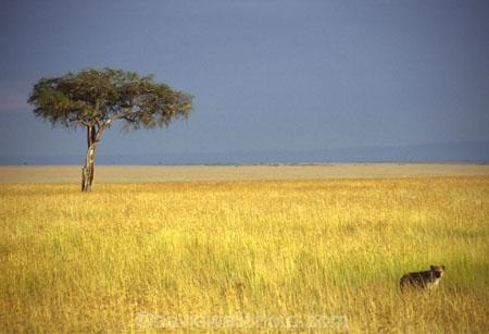 africa;african;animal;animals;mammal;mammals;nature;predator;predators;fur;east-africa;wildlife;wild;zoology;safari;safaris;game-viewing;carnivore;carnivores;omnivore;scavenger;scavengers;spotted-hyena;acacia-tree;trees;plain;crocuta-crocuta;erxleben;hyenas;tierwolf;-plain;tree;plains;savannah;savanna;savanah;savana;grasslands;game-park;game-parks;safari;safaris;game-viewing;rift-valley