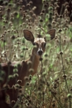 africa;african;antelope;antelopes;animal;animals;wild;wildlife;game-park;game-parks;safari;safaris;game-viewing;Aepyceros-melampus;grass;grassland;grasslands;mammal;mammals;nature;savanna;savannah;savana;savanah;Aepyceros-melampus