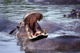 hippo;hippopotamus-amphibius;hippos;mammal;mammals;wild;wildlife;animal;animals;africa;african;east-africa;danger;dangerous;yawn;tired;sleepy;threat;mouth;mouths;yell;yelling;shout;shouts;shouting;yells;rift-valley;tooth;teeth;tusk;tusks;pachyderm;pachyderms;conservation-area