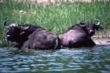 africa;african;animal;animals;east-africa;wildlife;wild;game-park;game-parks;safari;safaris;game-viewing;buffalos;bufalo;water-buffalo;horns;cape-buffalo;Syncerus-caffer