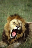 east-africa;africa;african;animal;animals;mammal;mammals;wild;wildlife;zoology;plain;plains;savannah;savanna;savanah;savana;grasslands;game-park;game-parks;cat;cats;feline;felines;predator;predators;carnivore;carnivores;lions;Panthera-leo;pride-leader;dominant;roar;yawn;yawning;teeth;canines;bite;hungry;hunger;lazy;laziness;roaring;sleepy;tired;sleepiness;mouth;mouths;yell;yelling;shout;shouts;shouting;yells;safari;safaris;game-viewing;rift-valley