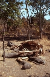 elephants;endangered;pachyderm;pachyderms;shoot;shoots;kill;kills;poach;poacher;poachers;shot;illegal;illegally;death;dead;bone;bones;skeletons;remains;ivory;tusk;tusks;hunt;hunters;hunted