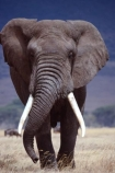 africa;african;animal;animals;elephant;elephants;african-elephant;african-elephants;jumbo;pachyderm;pachyderms;wildlife;wild;mammal;mammals;large;big;enormous;trunk;trunks;Loxodonta-africana;Ivory;tusk;tusks;game-park;game-parks;safari;safaris;game-viewing;threatened;endangered;nose;noses;national-park;national-parks;ear;ears;skin;herbivore;herbivores;walk;walking;head-on;head_on;reserve;reserves;Bull;bulls;Ngorongoro-Crater;Ngorongoro-Conservation-Area;Ngorongoro;Tanzania;Tanzanian;east-africa