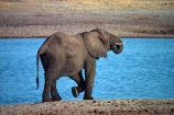 africa;african;animal;animals;elephant;elephants;african-elephant;african-elephants;jumbo;pachyderm;pachyderms;wildlife;wild;mammal;mammals;large;big;enormous;trunk;trunks;Loxodonta-africana;Ivory;tusk;tusks;game-park;game-parks;safari;safaris;game-viewing;threatened;endangered;nose;noses;national-park;national-parks;ear;ears;skin;herbivore;herbivores;drink;drinks;drinking;thirst;thirsty;water-hole;water-holes;southern-africa;hwange;wankie;hwange-np;hwange-national-park;reserve;reserves;zimbabwe;zimbabwean;zimbabwian