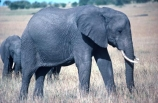 africa;african;animal;animals;elephant;elephants;african-elephant;african-elephants;jumbo;pachyderm;pachyderms;wildlife;wild;mammal;mammals;large;big;enormous;trunk;trunks;Loxodonta-africana;Ivory;tusk;tusks;game-park;game-parks;safari;safaris;game-viewing;threatened;endangered;nose;noses;national-park;national-parks;ear;ears;skin;herbivore;herbivores;reserve;reserves;Masai-Mara;masai;maasai;masai-mara-National-Reserve;Kenya;kenyan
