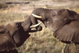 africa;african;animal;animals;elephant;elephants;african-elephant;african-elephants;jumbo;pachyderm;pachyderms;wildlife;wild;mammal;mammals;large;big;enormous;trunk;trunks;Loxodonta-africana;Ivory;tusk;tusks;game-park;game-parks;safari;safaris;game-viewing;threatened;endangered;nose;noses;national-park;national-parks;ear;ears;skin;herbivore;herbivores;cecils-Kop-Nature-Reserve;cecils-kop;cecils-kop;Zimbabwe;zimbabwean;zinbabwian;fight;fighting;spar;sparring;bull;bulls;push;tussle;fights