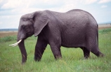 africa;african;animal;animals;elephant;elephants;african-elephant;african-elephants;jumbo;pachyderm;pachyderms;wildlife;wild;mammal;mammals;large;big;enormous;trunk;trunks;Loxodonta-africana;Ivory;tusk;tusks;game-park;game-parks;safari;safaris;game-viewing;threatened;endangered;nose;noses;national-park;national-parks;ear;ears;skin;herbivore;herbivores;reserve;reserves;Masai-Mara;masai;maasai;masai-mara-National-Reserve;Kenya;kenyan;grassland;grasslands;savanna;savannah;savana;savanah