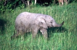 africa;african;animal;animals;elephant;elephants;african-elephant;african-elephants;jumbo;pachyderm;pachyderms;wildlife;wild;mammal;mammals;large;big;enormous;trunk;trunks;Loxodonta-africana;Ivory;tusk;tusks;game-park;game-parks;safari;safaris;game-viewing;threatened;endangered;nose;noses;national-park;national-parks;ear;ears;skin;herbivore;herbivores;reserve;reserves;Masai-Mara;masai;maasai;masai-mara-National-Reserve;Kenya;kenyan;baby;babies;calf;calves;sniff;smell;smells;sniffs;infant;infants
