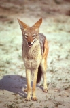 Africa;african;Animal;Animals;Black_backed-Jackal;Black_backed-Jackals;canid;canids;Canine;Canines;Canis-mesomelas;Jackal;Jackals;Mammal;Mammals;National-Park;National-Parks;Nature;Wild;Wildlife;game-view;game-viewing;game-park;game-parks;safari;safaris;ngorongoro;ngorongoro-crater;ngorongoro-conservation-area;reserve;reserves;tanzania;tanzanian;east-africa;hunter;hunters;carinivore;carnivores;omnivore;omnivores;scavenger;scavengers