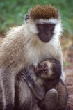 africa;african;animal;animals;east-africa;wildlife;wild;game-park;game-parks;safari;safaris;game-viewing;rift-valley;monkeys;monkey;mother;mothers;baby;babies;sucling;succling;mammal;mamal;cute;Cercopithecus-aethiops;green-monkey;vervet-monkey;nakuru-national-park;kenya;kenyan;nakuru;national-parks;national-park