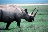 safari;safaris;game-viewing;rhinos;rhino;rhinoceros;rhinoceroses;pachyderm;pachyderms;Diceros-bicornis;hook_lipped-rhinoceros;hook-lipped-rhinoceros;game-park;game-parks;national-park;national-parks;africa;african;animal;animals;wild;wildlife;zoology;endangered;mammal;mammals;threatened;horn;horns;poaching;rift-valley;ngorongoro-crater;ngorongoro-conservation-area;tanzania;tanzanian;ngorongoro