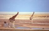 Giraffa-camelopardalis;east-africa;africa;african;animal;animals;giraffe;giraffes;mammal;wild;wildlife;zoology;long-neck;tall;height;plain;plains;savannah;savanna;savanah;savana;grasslands;game-park;game-parks;safari;safaris;game-viewing;national-park;national-parks;etosha-pan;etosha;etosha-national-park;namibia;namibian;ostrich;ostriches