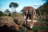 east-africa;africa;african;animal;animals;mammal;wild;wildlife;zoology;plain;plains;savannah;savanna;savanah;savana;grasslands;game-park;game-parks;game-viewing;safari;safaris;stripes;black-and-white;stripe;striped;zebra;zebras;Equus-burchelli;nairobi-national-park;nairobi;kenya;kenyan;young;baby;babies;orphan;orphans