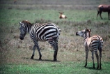 east-africa;africa;african;animal;animals;mammal;wild;wildlife;zoology;plain;plains;savannah;savanna;savanah;savana;grasslands;game-park;game-parks;game-viewing;safari;safaris;stripes;black-and-white;stripe;striped;zebra;zebras;Equus-burchelli;rift-valley;ngorongoro-crater;ngorongoro-conservation-area;tanzania;tanzanian;ngorongoro;baby;babies;calf;calves;mother;mothers