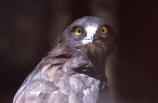 bird;birds;africa;african;animal;animals;feather;feathers;nature;wild;wildlife;safari;safaris;game-viewing;bird-spotting;Circaetus-gallicus;Snake-Eagle;snake-eagles;eagle;eagles;Zimbabwe;zimbabwean;eye;eyes