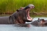 Africa;African;aggression;aggressive;animal;animals;Botswana;Chobe-N.P.;Chobe-National-Park;Chobe-NP;Chobe-River;Chobe-River-boat-trip;Chobe-River-boat-trips;Chobe-River-cruise;Chobe-River-cruises;Chobe-River-Front;Chobe-River-Front-Region;Chobe-River-Region;Chobe-waterfront;hippo;hippopotami;hippopotamus;Hippopotamus-amphibius;hippopotamuses;hippos;Kasane;mammal;mammals;mouth;national-park;national-parks;natural;nature;reserve;reserves;safari;safaris;Southern-Africa;tusk;tusks;wild;wilderness;wildlife;wildlife-park;wildlife-parks;wildlife-reserve;wildlife-reserves;yawn;yawning