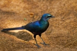 Africa;animal;animals;avian;bird;bird-spotting;bird-watching;bird_watching;birds;Botswana;eco-tourism;eco_tourism;ecotourism;Fauna;glossy-starling;glossy-starlings;iridescent-blue;iridescent-green;iridescent-purple;Long_tailed-Purple-Starling;Long_tailed-Starling;Long_Tailed-starlings;Longtailed-Glossy-Starling;Longtailed-Starling;Meves-Glossy-Starling;Meves-Long_tailed-Glossy-Starling;Meves-Long_tailed-Starling;Meves-Longtailed-Starling;Meves-Starling;Mevess-Glossy-Starling;Mevess-Long_tailed-Glossy-Starling;Mevess-Long_tailed-Purple-Starling;Mevess-Long_tailed-Starling;Mevess-Starling;Mevess-Starlings;Natural;Nature;Okavango-Delta;Ornithology;Southern-Africa;Southern-Long_tailed-Glossy-Starling;Southern-Long_tailed-Starling;starling;starlings;wild;wildlife