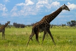 Africa;African-plain;African-plains;Angolan-giraffe;animal;animals;Botswana;game-drive;game-viewing;Giraffa-camelopardalis;Giraffa-camelopardalis-angolensis;giraffe;giraffes;mammal;mammals;Namibia;national-park;national-parks;natural;nature;Nxai-Pan-N.P.;Nxai-Pan-National-Park;Nxai-Pan-NP;plain;plains;reserve;reserves;Southern-Africa;tall;wild;wilderness;wildlife