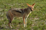 Africa;animal;animals;black-backed-jackal;black-backed-jackals;black_backed-jackal;black_backed-jackals;Botswana;Canidae;Canis-mesomelas;Carnivora;game-drive;game-viewing;jackal;jackals;mammal;mammals;Namibia;national-park;national-parks;natural;nature;Nxai-Pan-N.P.;Nxai-Pan-National-Park;Nxai-Pan-NP;predator;predators;red-jackal;reserve;reserves;scavenger;scavengers;silver_backed;Southern-Africa;wild;wilderness;wildlife
