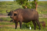 Africa;African;African-buffalo;African-buffaloes;animal;animals;Botswana;buffalo;buffaloes;cape-buffalo;cape-buffaloes;Chobe-N.P.;Chobe-National-Park;Chobe-NP;egret;egrets;intermediate-egret;mammal;mammals;national-park;national-parks;natural;nature;reserve;reserves;safari;safaris;Southern-Africa;Syncerus-caffer;Syncerus-caffer-caffer;wild;wilderness;wildlife;wildlife-park;wildlife-parks;wildlife-reserve;wildlife-reserves