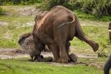Africa;African-elephant;African-elephants;animal;animals;Botswana;Chobe-N.P.;Chobe-National-Park;Chobe-NP;Chobe-River;Chobe-River-Front;Chobe-River-Front-Region;Chobe-River-Region;Chobe-waterfront;digging;elephant;elephants;fall;falling;Kasane;kneel;kneeling;Loxodonta-africana;mammal;mammals;national-park;national-parks;natural;nature;pachyderm;pachyderms;reserve;reserves;safari;safaris;Southern-Africa;tusk;wild;wilderness;wildlife;wildlife-park;wildlife-parks;wildlife-reserve;wildlife-reserves