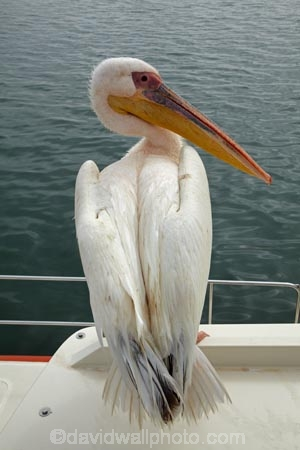 Africa;animal;animals;Atlantic-Coast;Atlantic-Ocean;avian;bird;bird-watching;birds;boat;boat-cruise;boat-cruises;boats;coast;coastal;cruiser;cruisers;Eastern-White-Pelican;eco-tourism;eco_tourism;ecotourism;Fauna;Great-White-Pelican;harbour;harbours;launch;launches;Mola-Mola;Mola-Mola-Boat-Tours;Mola-Mola-Safaris;Mola-Mola-Tours;Namibia;Natural;Nature;Ornithology;Pelecanus-onocrotalus;Rosy-Pelican;Skeleton-Coast;Southern-Africa;tour-boat;tour-boats;tourist-boat;tourist-boats;Walfischbai;Walfischbucht;Walvis-Bay;Walvis-Bay-Harbour;Walvisbaai;White-Pelican;wildlife