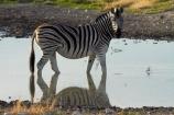 Africa;animal;animals;Burchells-zebra;Equus-quagga;Equus-quagga-burchellii;Etosha-N.P.;Etosha-National-Park;Etosha-NP;game-park;game-parks;game-reserve;game-reserves;mammal;mammals;Namibia;national-park;national-parks;Plains-zebra;Southern-Africa;Steppenzebra;waterhole;waterholes;wildlife;wildlife-park;wildlife-parks;wildlife-reserve;wildlife-reserves;Zebra;zerbras