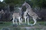 Africa;animal;animals;Burchells-zebra;Equus-quagga;Equus-quagga-burchellii;Etosha-N.P.;Etosha-National-Park;Etosha-NP;fight;fighting;game-park;game-parks;game-reserve;game-reserves;mammal;mammals;Namibia;national-park;national-parks;Plains-zebra;Southern-Africa;Steppenzebra;wildlife;wildlife-park;wildlife-parks;wildlife-reserve;wildlife-reserves;Zebra;zerbras