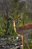 Aepyceros-melampus;Aepyceros-melampus-petersi;Africa;animal;animals;antelope;antelopes;black-faced-impala;black-faced-impalas;black_faced-impala;black_faced-impalas;blackfaced-impala;blackfaced-impalas;Etosha-N.P.;Etosha-National-Park;Etosha-NP;game-park;game-parks;game-reserve;game-reserves;game-viewing;impala;impalas;male;males;mammal;mammals;Namibia;national-park;national-parks;Southern-Africa;wildlife;wildlife-park;wildlife-parks;wildlife-reserve;wildlife-reserves