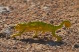 Africa;chamaeleon;Chameleon;Chameleons;Etosha-N.P.;Etosha-National-Park;Etosha-NP;game-park;game-parks;game-reserve;game-reserves;lizard;lizards;Namibia;national-park;national-parks;reptile;reptiles;Southern-Africa;wildlife-park;wildlife-parks;wildlife-reserve;wildlife-reserves