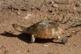 Africa;Etosha-N.P.;Etosha-National-Park;Etosha-NP;game-park;game-parks;game-reserve;game-reserves;Marsh-terrapin;Marsh-terrapins;Namibia;national-park;national-parks;Pelomedusa-subrufa;Southern-Africa;terrapin;terrapins;tortoise;tortoises;turtle;turtles;wildlife-park;wildlife-parks;wildlife-reserve;wildlife-reserves