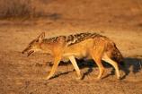 Africa;animal;animals;black-backed-jackal;black-backed-jackals;black_backed-jackal;black_backed-jackals;Canidae;Canis-mesomelas;Carnivora;carnivore;carnivores;Etosha-N.P.;Etosha-National-Park;Etosha-NP;game-park;game-parks;game-reserve;game-reserves;jackal;jackals;mammal;mammals;Namibia;national-park;national-parks;predator;predators;red-jackal;scavenger;scavengers;silver_backed;Southern-Africa;wildlife;wildlife-park;wildlife-parks;wildlife-reserve;wildlife-reserves