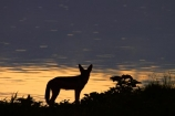 Africa;animal;animals;black-backed-jackal;black-backed-jackals;black_backed-jackal;black_backed-jackals;Canidae;Canis-mesomelas;Carnivora;carnivore;carnivores;dusk;Etosha-N.P.;Etosha-National-Park;Etosha-NP;evening;game-park;game-parks;game-reserve;game-reserves;jackal;jackals;mammal;mammals;Namibia;national-park;national-parks;night;night_time;nightfall;Okaukuejo;Okaukuejo-waterhole;predator;predators;red-jackal;scavenger;scavengers;silhouette;silhouettes;silver_backed;Southern-Africa;sunset;sunsets;twilight;waterhole;waterholes;wildlife;wildlife-park;wildlife-parks;wildlife-reserve;wildlife-reserves