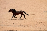 Africa;Aus;desert;desert-horse;desert-horses;deserts;dry;equestrian;feral-desert-horses;feral-horse;feral-horses;Garub;horse;horses;Namib-Desert;Namib-Naukluft-N.P.;Namib-Naukluft-National-Park;Namib-Naukluft-NP;Namib_Naukluft-N.P.;Namib_Naukluft-National-Park;Namib_Naukluft-NP;Namibia;Southern-Africa;Southern-Namiba;wild-desert-horses;wild-horse;wild-horses