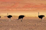 Africa;arid;bird;bird-spotting;birds;desert;deserts;dry;dune;dunes;game-viewing;hot;Namib-Desert;Namib-Naukluft-N.P.;Namib-Naukluft-National-Park;Namib-Naukluft-NP;Namib_Naukluft-N.P.;Namib_Naukluft-National-Park;Namib_Naukluft-NP;Namibia;national-park;national-parks;natural;nature;orange-sand;Ostrich;ostriches;remote;remoteness;reserve;reserves;sand;sand-dune;sand-dunes;sand-hill;sand-hills;sand_dune;sand_dunes;sand_hill;sand_hills;sanddune;sanddunes;sandhill;sandhills;sandy;Southern-Africa;Struthio-camelus;wild;wilderness;wildlife
