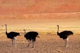 Africa;arid;bird;bird-spotting;birds;desert;deserts;dry;dune;dunes;game-viewing;hot;Namib-Desert;Namib-Naukluft-N.P.;Namib-Naukluft-National-Park;Namib-Naukluft-NP;Namib_Naukluft-N.P.;Namib_Naukluft-National-Park;Namib_Naukluft-NP;Namibia;national-park;national-parks;natural;nature;orange-sand;Ostrich;ostriches;remote;remoteness;reserve;reserves;sand;sand-dune;sand-dunes;sand-hill;sand-hills;sand_dune;sand_dunes;sand_hill;sand_hills;sanddune;sanddunes;sandhill;sandhills;sandy;Southern-Africa;Struthio-camelus;wild;wilderness;wildlife