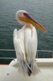 Africa;animal;animals;Atlantic-Coast;Atlantic-Ocean;avian;bird;bird-watching;birds;boat;boat-cruise;boat-cruises;boats;coast;coastal;cruiser;cruisers;Eastern-White-Pelican;eco-tourism;eco_tourism;ecotourism;Fauna;Great-White-Pelican;harbour;harbours;launch;launches;Mola-Mola;Mola-Mola-Boat-Tours;Mola-Mola-Safaris;Mola-Mola-Tours;Namibia;Natural;Nature;Ornithology;Pelecanus-onocrotalus;Rosy-Pelican;Skeleton-Coast;Southern-Africa;tour-boat;tour-boats;tourist-boat;tourist-boats;Walfischbai;Walfischbucht;Walvis-Bay;Walvis-Bay-Harbour;Walvisbaai;White-Pelican;wildlife