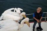 Africa;animal;animals;avian;bird;bird-watching;birds;boat;boat-cruise;boat-cruises;boats;coast;coastal;cruiser;cruisers;Eastern-White-Pelican;eco-tourism;eco_tourism;ecotourism;Fauna;Great-White-Pelican;harbour;harbours;launch;launches;Mola-Mola;Mola-Mola-Boat-Tours;Mola-Mola-Safaris;Mola-Mola-Tours;Namibia;Natural;Nature;Ornithology;Pelecanus-onocrotalus;Rosy-Pelican;Southern-Africa;tour-boat;tour-boats;tourist-boat;tourist-boats;Walfischbai;Walfischbucht;Walvis-Bay;Walvis-Bay-Harbour;Walvisbaai;White-Pelican;wildlife