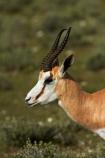 Africa;animal;animals;antelope;antelopes;Antidorcas-marsupialis;Etosha-N.P.;Etosha-National-Park;Etosha-NP;game-park;game-parks;game-reserve;game-reserves;mammal;mammals;Namibia;national-park;national-parks;Southern-Africa;springbok;springboks;wildlife;wildlife-park;wildlife-parks;wildlife-reserve;wildlife-reserves