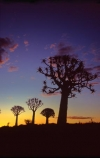 Kokerboom-Tree;Kokerboom-Trees;Quiver-Tree;Quiver-Trees;Keetmanshoop;southern-Namibia;Africa;African;bark;quivers;trees;africa;forest;forests;last-light;plant;plants;vegetation;nature;botany;sunset;sunsets;sky;dusk;twilight;tree;kokerboom;kokerbooms;quiver;quivers