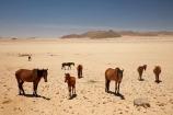 Africa;African;Aus;desert;desert-horse;desert-horses;deserts;dry;equestrian;feral-desert-horses;feral-horse;feral-horses;Garub;herd;herds;horse;horses;Namib-Desert;Namib-Naukluft-N.P.;Namib-Naukluft-National-Park;Namib-Naukluft-NP;Namib_Naukluft-N.P.;Namib_Naukluft-National-Park;Namib_Naukluft-NP;Namibia;Southern-Africa;Southern-Namiba;wild-desert-horses;wild-horse;wild-horses