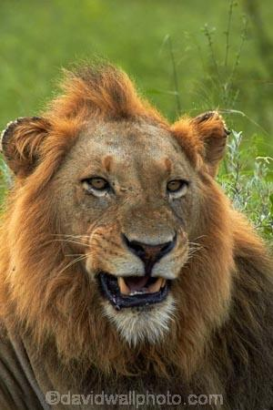 Africa;African-animals;African-wildlife;animal;animals;carnivore;carnivores;cat;cats;danger;dangerous;face;faces;feline;game-drive;game-park;game-parks;game-reserve;game-reserves;game-viewing;Great-Limpopo-Transfrontier-Park;hunter;hunters;Kruger;Kruger-N.P.;Kruger-National-Park;Kruger-NP;Kruger-reserve;Kruger-to-Canyons-Biosphere;Lion;lion-close-up;lion-close_up;lion-closeup;lion-face;lion-mane;lion-roar;lion-roaring;lionesses;lions;lions-roaring;male;male-lion;male-lions;males;mammal;mammals;mane;mouth;mouth-open;mouths;national-park;national-parks;natural;nature;open-mouth;Panthera-leo;predator;predators;Republic-of-South-Africa;reserve;reserves;roar;roaring;South-Africa;South-African-Republic;Southern-Africa;teeth;tooth;wild;wilderness;wildlife;wildlife-park;wildlife-parks;wildlife-reserve;wildlife-reserves;yawn;yawning