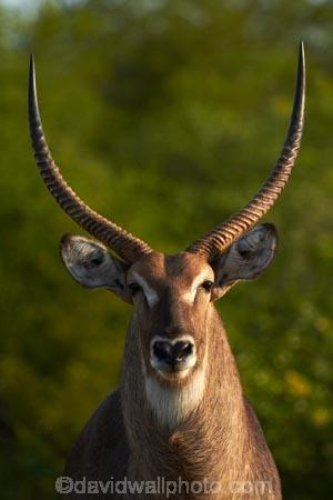 Africa;African-animals;African-wildlife;animal;animals;antelope;antelopes;common-waterbuck;common-waterbucks;ellipsen-waterbuck;ellipsen-waterbucks;game-drive;game-park;game-parks;game-reserve;game-reserves;game-viewing;Great-Limpopo-Transfrontier-Park;horn;horns;Kobus-ellipsiprymnus;Kobus-ellipsiprymnus-ellipsiprymnus;Kruger;Kruger-N.P.;Kruger-National-Park;Kruger-NP;Kruger-reserve;Kruger-to-Canyons-Biosphere;male;male-waterbuck;male-waterbucks;males;mammal;mammals;national-park;national-parks;natural;nature;Republic-of-South-Africa;reserve;reserves;South-Africa;South-African-Republic;Southern-Africa;water-buck;water-bucks;Waterbick;waterbuck;waterbucks;wild;wilderness;wildlife;wildlife-park;wildlife-parks;wildlife-reserve;wildlife-reserves