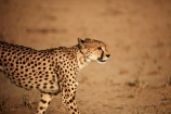 Acinonyx-jubatus;Africa;animal;animals;Botswana;carnivore;carnivores;cat;cats;Cheetah;Cheetahs;desert;deserts;feline;game-drive;game-viewing;Gemsbok-National-Park;hunter;hunters;Kalahari-Desert;Kalahari-Gemsbok-N.P.;Kalahari-Gemsbok-National-Park;Kalahari-Gemsbok-NP;Kgalagadi;Kgalagadi-Park;Kgalagadi-Transfrontier-Park;mammal;mammals;national-park;national-parks;natural;nature;park;parks;predator;predators;Republic-of-South-Africa;reserve;reserves;safari;safaris;South-Africa;South-African-Republic;Southern-Africa;spot;spots;spotted;wild;wilderness;wildlife