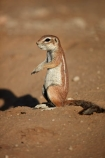 Africa;animal;animals;antelope;antelopes;Botswana;Cape-ground-squirrel;Cape-ground-squirrels;desert;deserts;game-park;game-parks;game-reserve;game-reserves;game-viewing;Gemsbok-National-Park;ground-squirrel;ground-squirrels;Kalahari-Desert;Kalahari-Gemsbok-N.P.;Kalahari-Gemsbok-National-Park;Kalahari-Gemsbok-NP;Kgalagadi;Kgalagadi-Park;Kgalagadi-Transfrontier-Park;mammal;mammals;national-park;national-parks;park;parks;Republic-of-South-Africa;safari;safaris;South-Africa;South-African-Republic;Southern-Africa;squirrel;squirrels;wilderness;wildlife;wildlife-park;wildlife-parks;wildlife-reserve;wildlife-reserves;Xerus-inauris